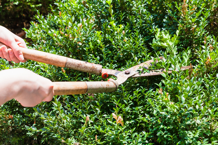 boxwood: gardener trims boxwood bushes by secateurs in summer day Stock Photo
