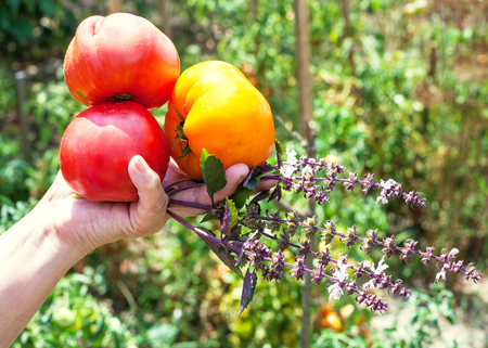 gardener hand holds new harvest from ripe tomatoes and basil herb with vegetable garden on background