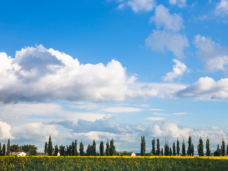 farmstead: blue sky with white clouds over sunflower field, farmstead, poplar trees in sunny summer day, Kuban, Russia