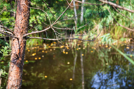 fallen tree: trunk of pine tree illuminated by sun and blurred forest pond on background