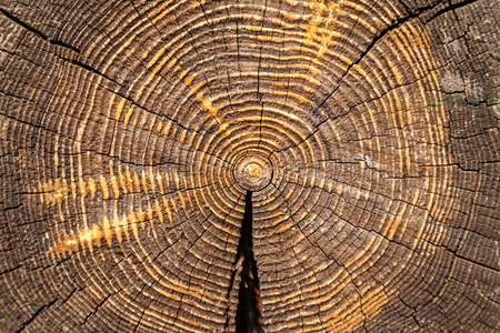 wood texture - cross section of old oak trunk impregnated by fireproofing