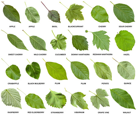 collage from green leaves of trees and shrubs with names isolated on white background 스톡 콘텐츠