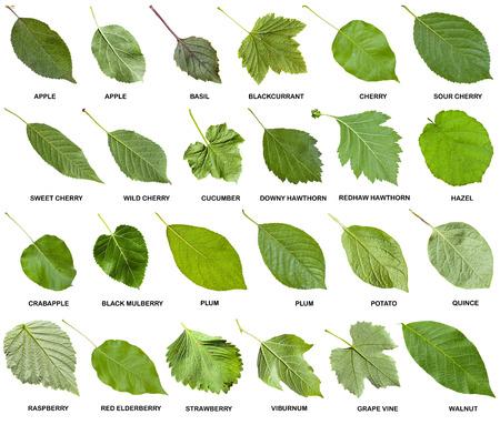 Collage van groene bladeren van bomen en struiken met namen geïsoleerd op een witte achtergrond