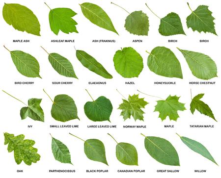 collection de feuilles vertes des arbres et des arbustes avec des noms isolé sur fond blanc Banque d'images