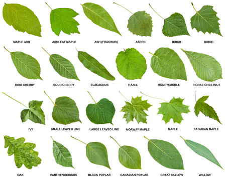 collection of green leaves of trees and shrubs with names isolated on white background