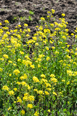 canola plant: yellow blooms of canola plant in spring