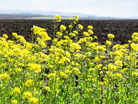 yellow flowers of rapeseed and plowed field in spring Stock Photo