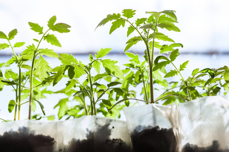 hotbed: seedlings of tomato plant in plastic containers in glasshouse Stock Photo