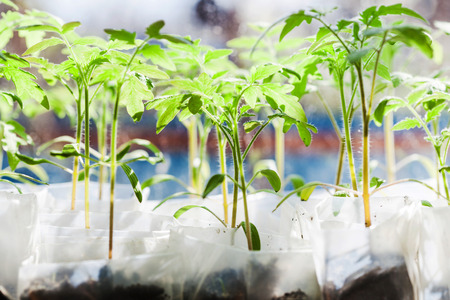 glasshouse: shoots of tomato plant in plastic containers in glasshouse Stock Photo