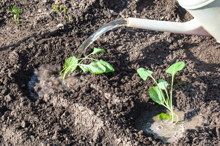 watered: planting vegetables in garden - cabbage seedlings watered with water from watering can Stock Photo