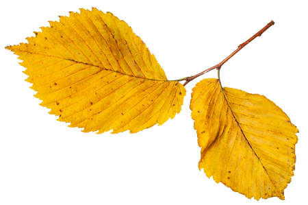 twig with yellow autumn leaves of elm tree isolated on white background Stock Photo