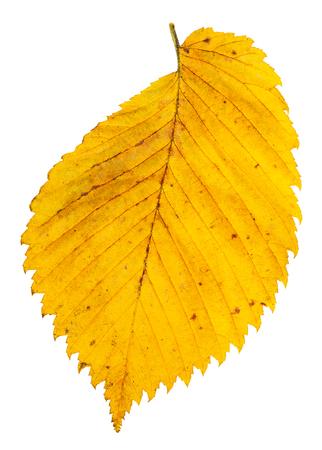yellow autumn leaf of elm tree isolated on white background