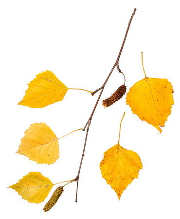 european white birch: branch with yellow autumn leaves of birch tree isolated on white background