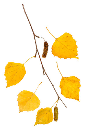 twig with yellow autumn leaves of birch tree isolated on white background