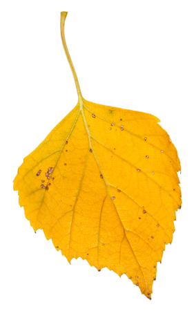 european white birch: yellow fallen leaf of birch tree isolated on white background