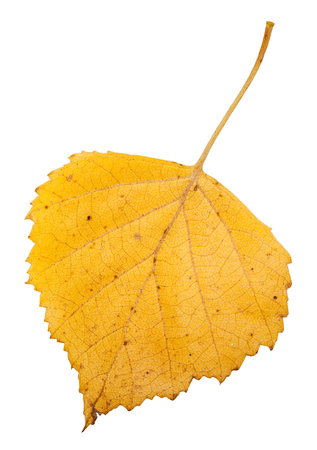 european white birch: yellow autumn leaf of birch tree isolated on white background