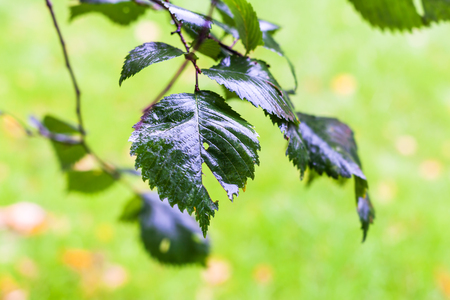 laevis: rain drops on green leaves of elm tree in autumn day
