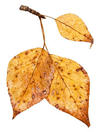 arbol alamo: rama con hojas de color amarillo de álamo (Populus nigra, álamo negro) aisladas sobre fondo blanco Foto de archivo