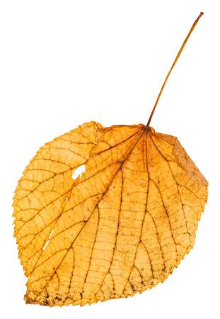 tilia: yellow fallen leaf of linden (Lime tree, Tilia ) isolated on white background