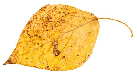 arbol alamo: amarillo caído la hoja del árbol de álamo (Populus nigra, álamo negro) aisladas sobre fondo blanco Foto de archivo