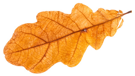 yellow dried leaf of oak tree isolated on white background