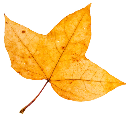 fallen tree: yellow autumn three-lobed leaf of maple tree (Montpellier maple) isolated on white background