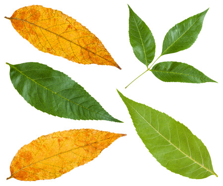 excelsior: set from green and yellow autumn leaves of Fraxinus tree (ash tree) isolated on white background Stock Photo