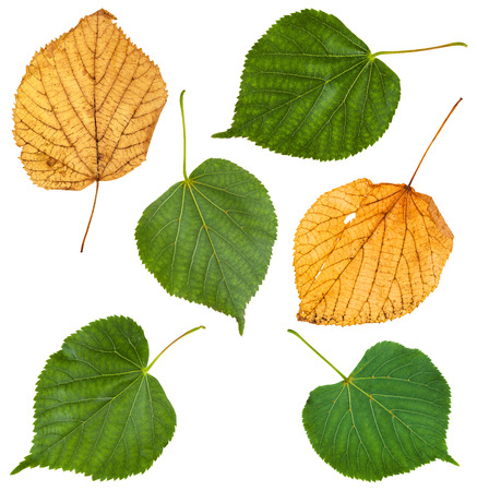tilia: set from green and autumn yellow leaves of Tilia tree (lime tree, linden) isolated on white background