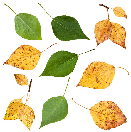 arbol alamo: set from green and yellow autumn leaves of black poplar tree (populus nigra) isolated on white background