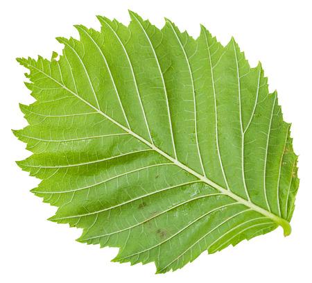 laevis: back side of green leaf of Elm tree (ulmus laevis, european white elm, fluttering elm, spreading elm, stately elm, russian elm) isolated on white background Stock Photo