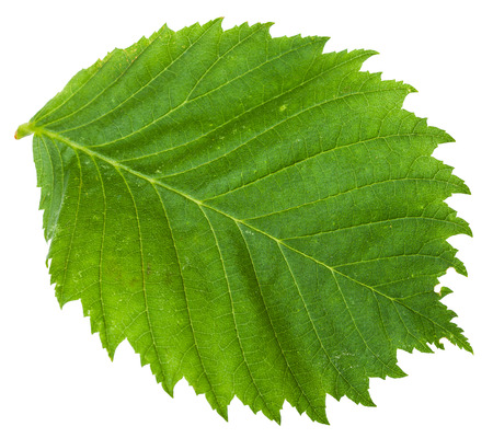 laevis: green leaf of Elm tree (ulmus laevis, european white elm, fluttering elm, spreading elm, stately elm, russian elm) isolated on white background Stock Photo
