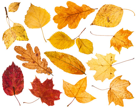 collage from various autumn leaves isolated on white background