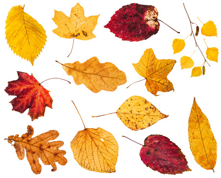 collage from various yellow and red autumn leaves isolated on white background
