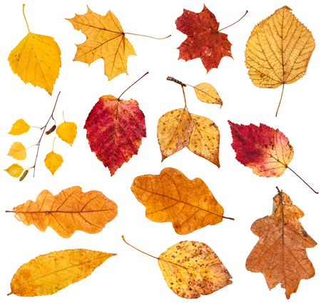 collage from various fallen leaves isolated on white background 版權商用圖片