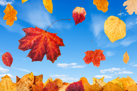 tilo: falling red and yellow autumn leaves and blue sky with little white clouds on background