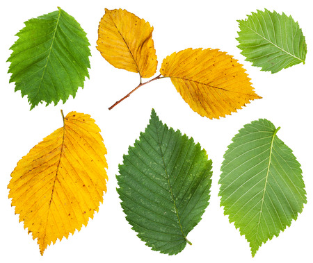 laevis: set from yellow and green leaves of elm tree isolated on white background