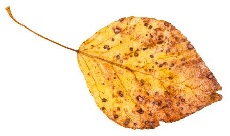 arbol alamo: yellow dried leaf of poplar tree (populus nigra, black poplar) isolated on white background Foto de archivo