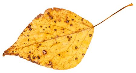arbol alamo: hoja amarilla del otoño del árbol de álamo (Populus nigra, álamo negro) aisladas sobre fondo blanco Foto de archivo