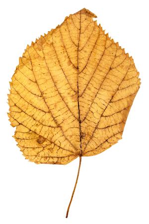 tilia: yellow autumn leaf of linden (Lime tree, Tilia ) isolated on white background Stock Photo