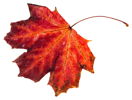 norway maple: red fallen leaf of maple tree (Norway maple) isolated on white background