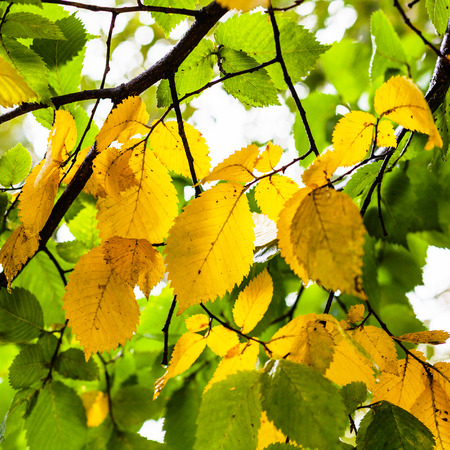 laevis: green and yellow leaves of Elm tree in rainy autumn day