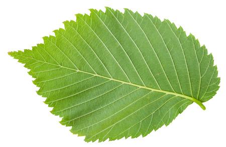 back side of fresh leaf of Elm tree (ulmus laevis, european white elm, fluttering elm, spreading elm, stately elm, russian elm) isolated on white background