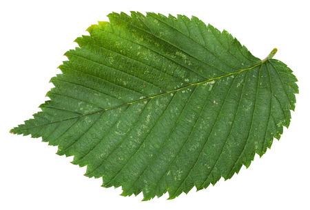 laevis: fresh leaf of Elm tree (ulmus laevis, european white elm, fluttering elm, spreading elm, stately elm, russian elm) isolated on white background