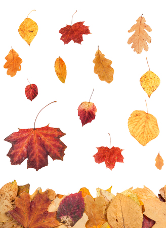 autumn leaves falling: seasonal collage - autumn leaves falling on leaf litter isolated on white background Stock Photo