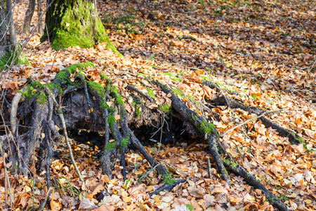 pit fall: tree roots covered by lef litter in urban park in sunny autumn day