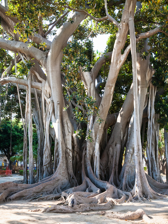 PALERMO, ITALY -JUNE 24, 2011: oldest tree in Palermo city in urban garden Giardino Garibaldi on Piazza Marina is Palermo. This is ficus macrophylla tree 25m-high, 150-year-old Editorial