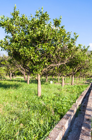 region sicilian: agricultural tourism in Italy - Citrus trees in garden in Sicily in summer day