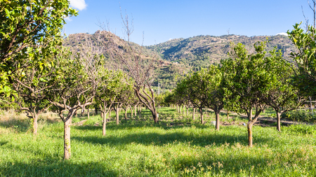 region sicilian: agricultural tourism in Italy - Citrus garden in Sicily in summer day