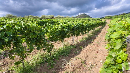 region sicilian: agricultural tourism in Italy - green vineyard in Etna region in Sicily