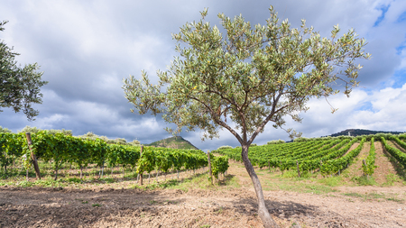region sicilian: agricultural tourism in Italy - olive tree in front of vineyards in Etna region in Sicily